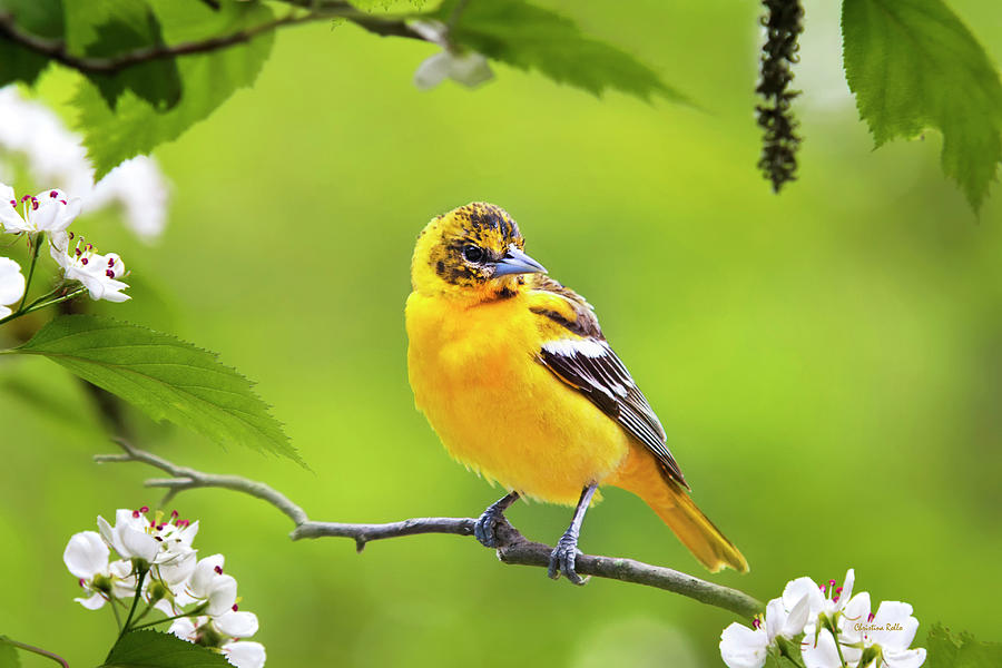 Bird Photograph - Bird And Blooms - Baltimore Oriole by Christina Rollo