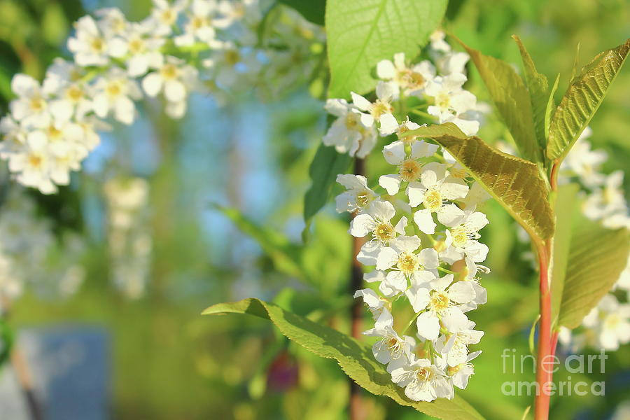 Bird Cherry Flowers In Sunny Day Photograph
