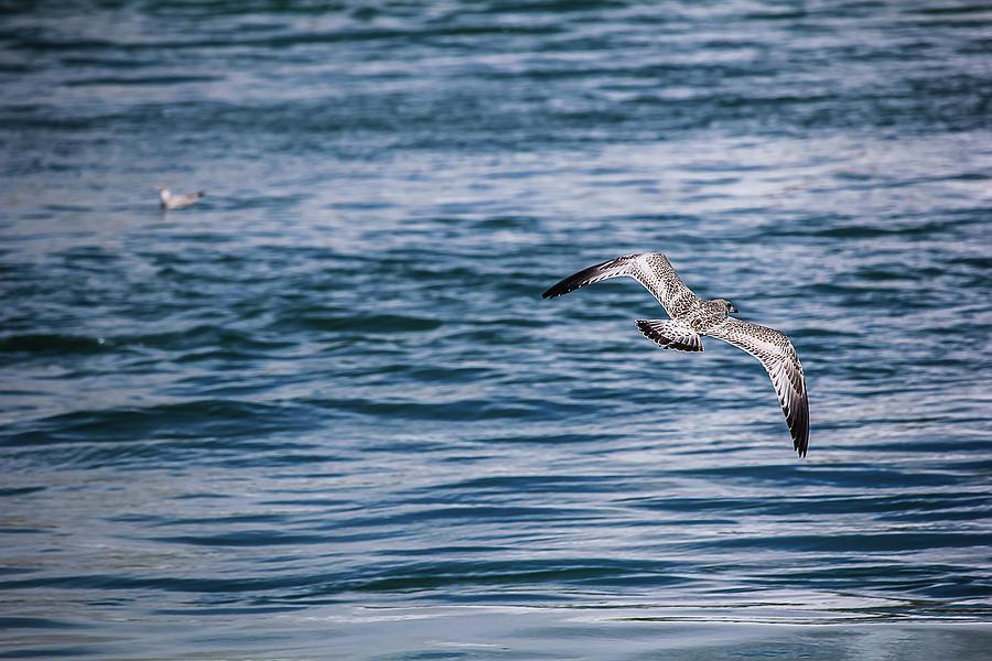 Bird Photograph - Bird in flight over water by Maxwell Dziku