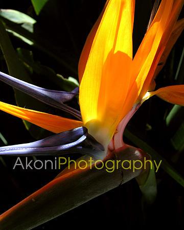 Bird Of Paradise Hawaii Photograph - Bird Of Paradise by Anthony Valadon
