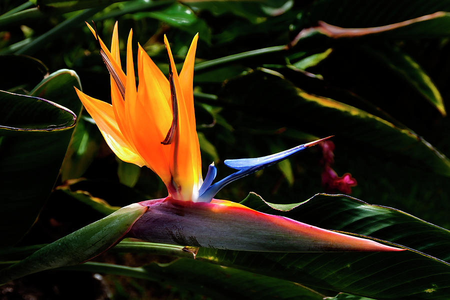 Flower Photograph - Bird Of Paradise Flower by Brian Harig