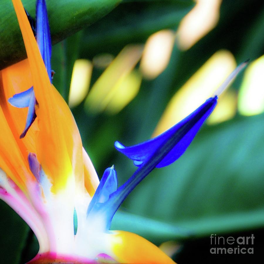 Flower Photograph - Bird Of Paradise Flower by D Davila