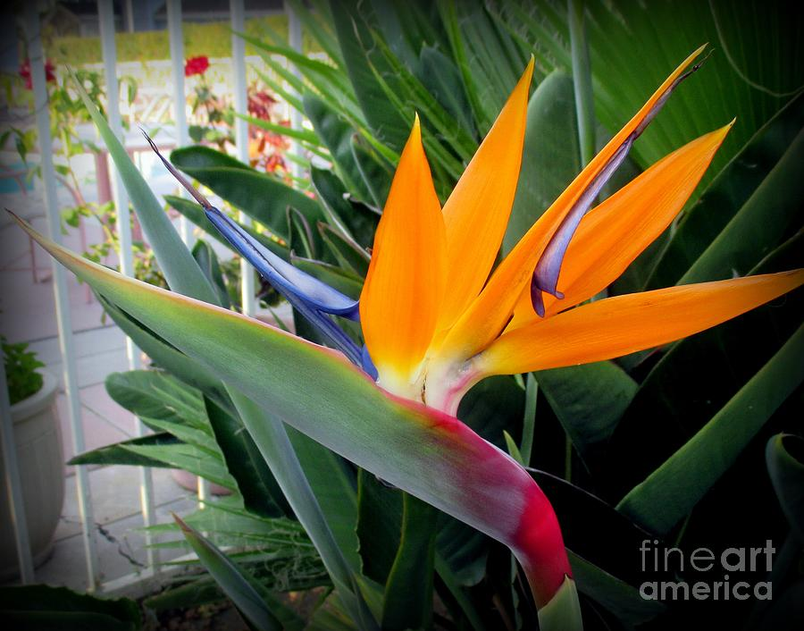 Bird Of Paradise Photograph - Bird of Paradise Flower by Joy Patzner