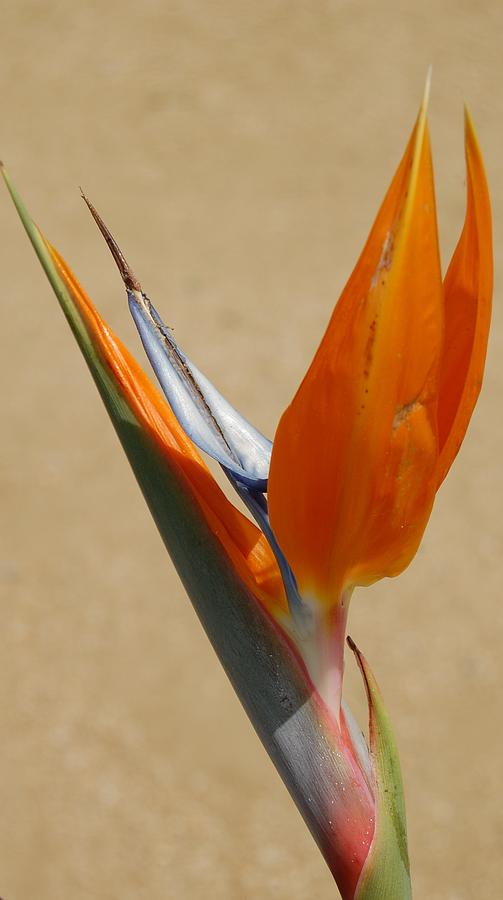 Flower Photograph - Bird Of Paradise II by Jean Booth