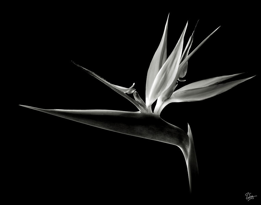 Flower Photograph - Bird Of Paradise In Black And White by Endre Balogh