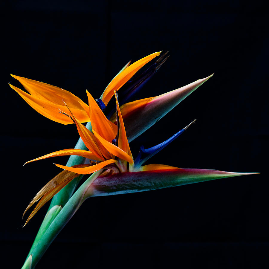 Bird Of Paradise By James Roemmling