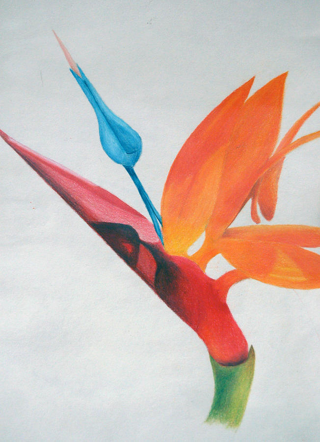 Flower Drawing - Bird Of Paradise by Michael Ringwalt