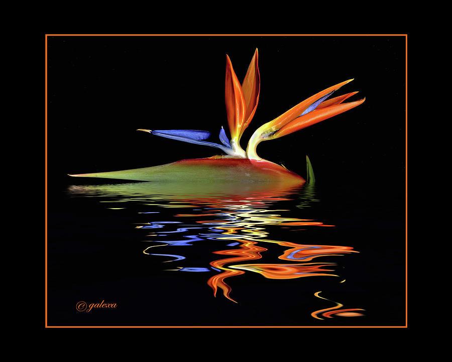 Bird of Paradise on water by Geraldine Alexander