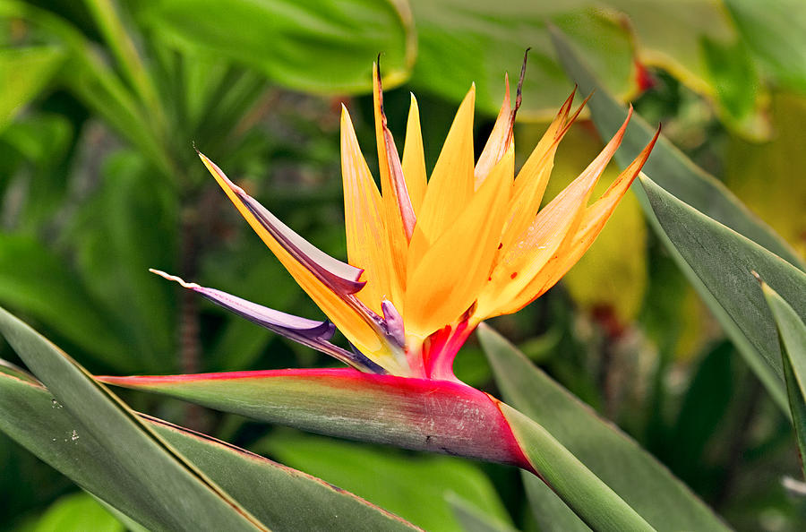 Flower Photograph - Bird Of Paradise Photo by Peter J Sucy