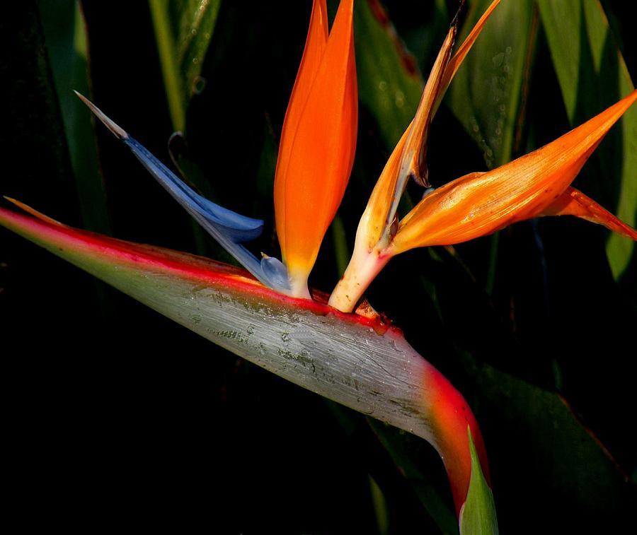 Flowers Photograph - Bird Of Paradise by Rosalie Scanlon