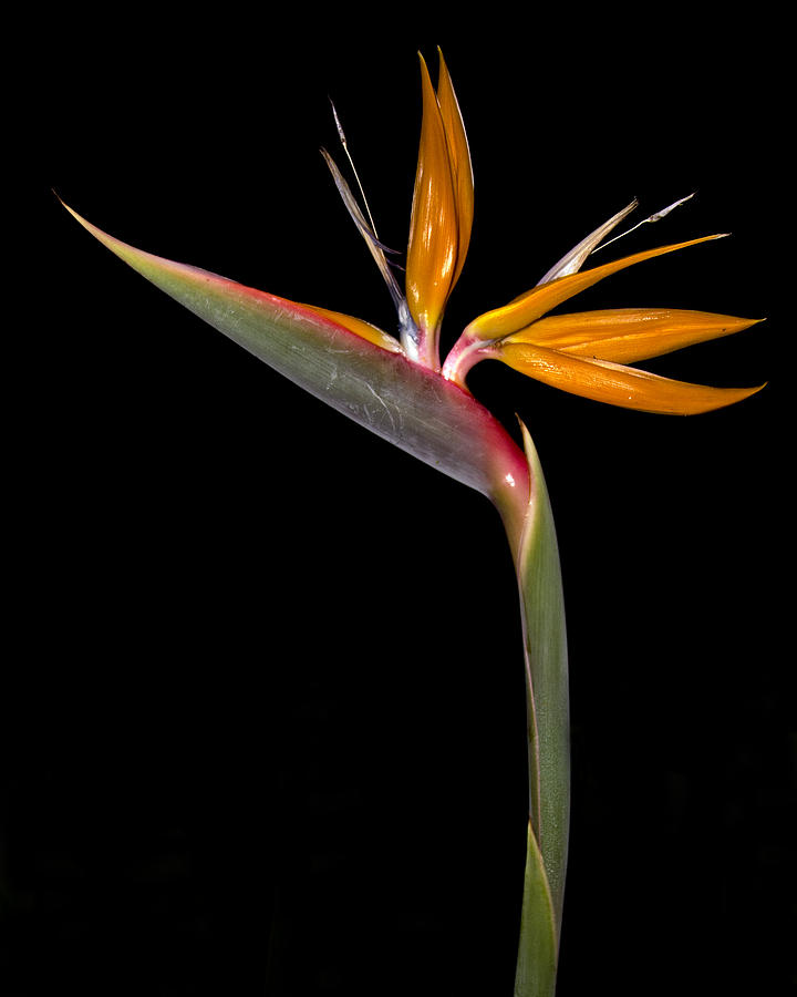 Flower Photograph - Bird Of Paradise by Troy Karr
