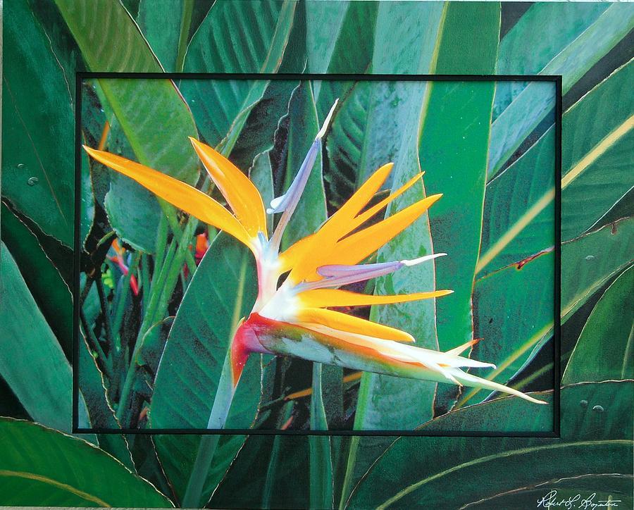 Bird Of Paradise Mixed Media - Bird Of Paridise by Robert Boynton