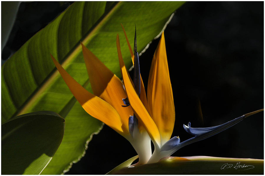 Flower Photograph - Bird of Paridise2 by Richard Gordon