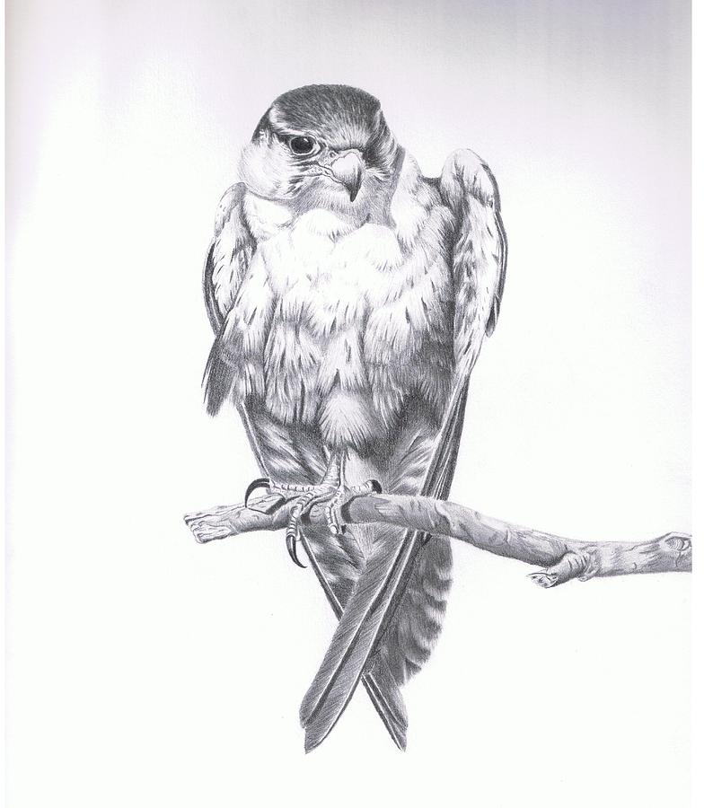 Bird Drawing - Bird Of Prey by Michael Cameron