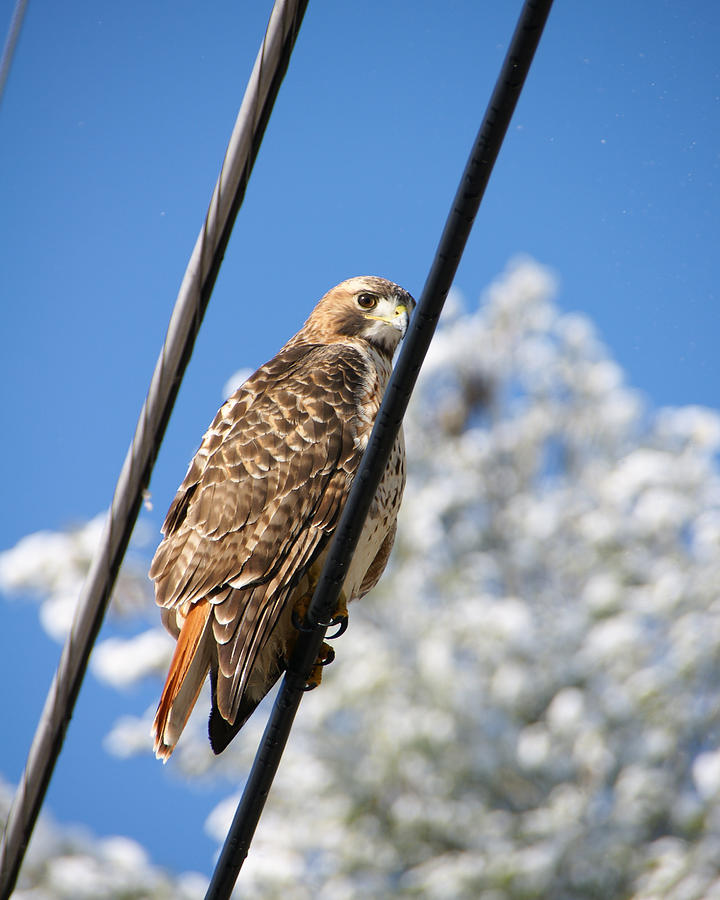 Hawk Photograph - Bird On A Wire by Edward Myers