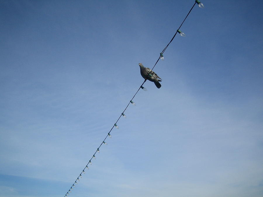 Pigeon Photograph - Bird On A Wire by Tiara Moske