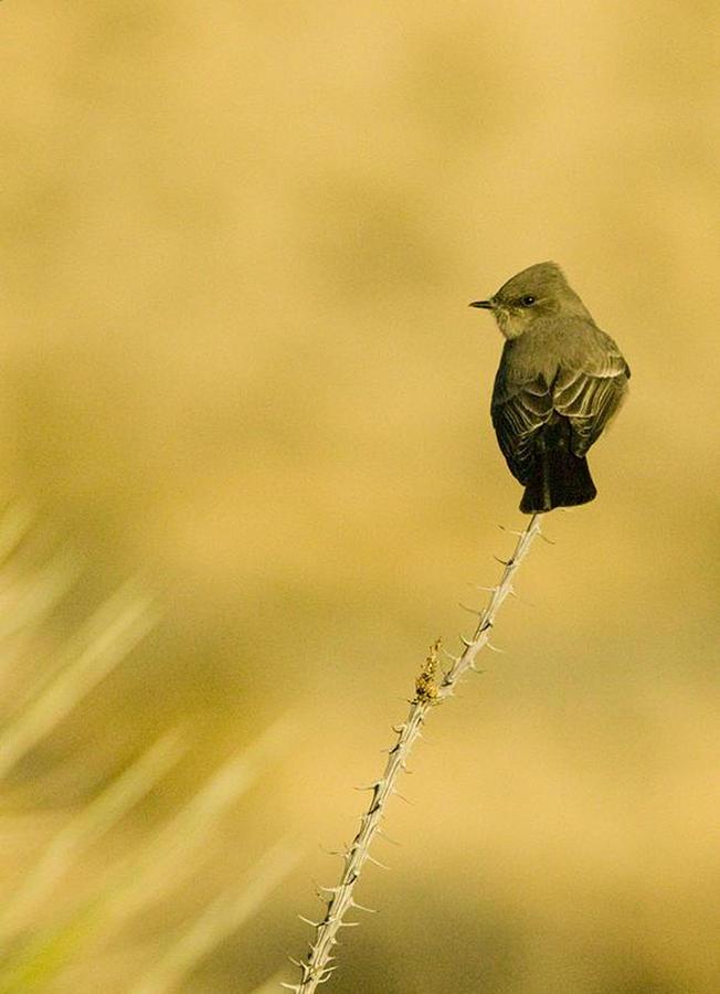 Texas Photograph - Bird On Ocotillo by Clyde Replogle