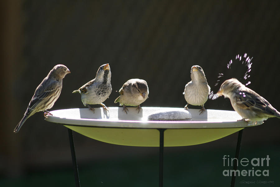 Birds Photograph - Birds Drinking From Bird Bath In Summer Sunshine by Gordon Wood