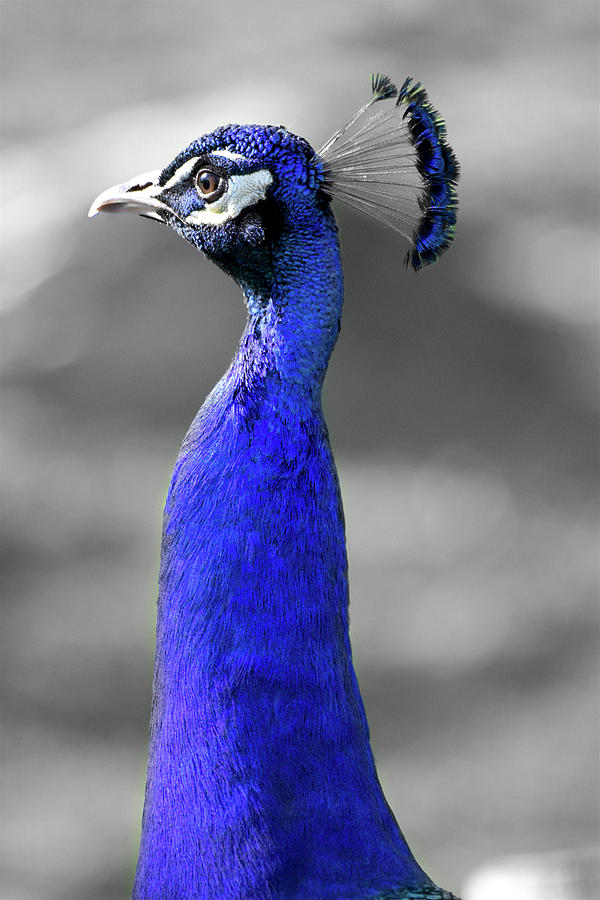 Peacock Bird Photograph - Birds Of A Feather by Joseph Hedaya