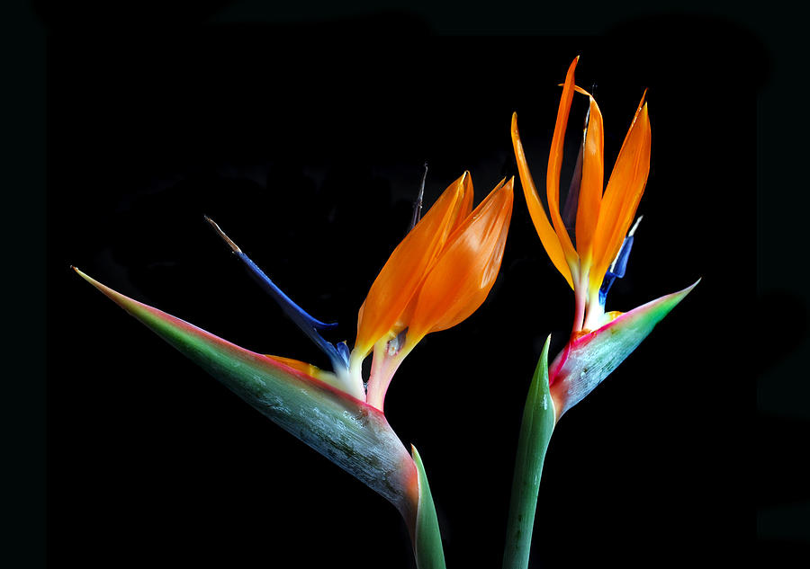 Bird Of Paradise Flower Photograph - Birds Of Paradise by Terence Davis