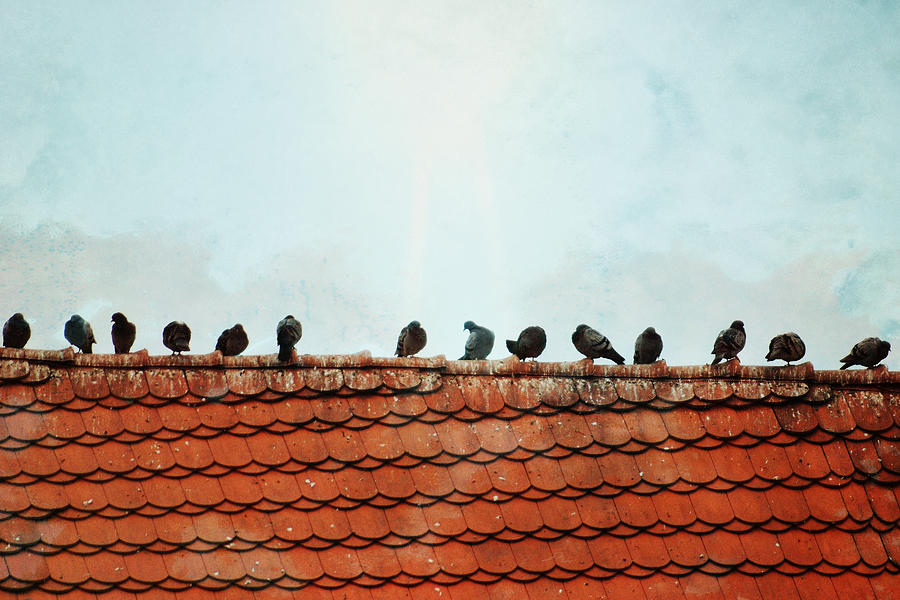 Pigeons Photograph - Birds On A Rooftop by Sharon Coty