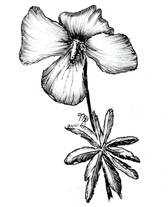 Violet Drawing - Birdsfoot Violet by Nicole Angell