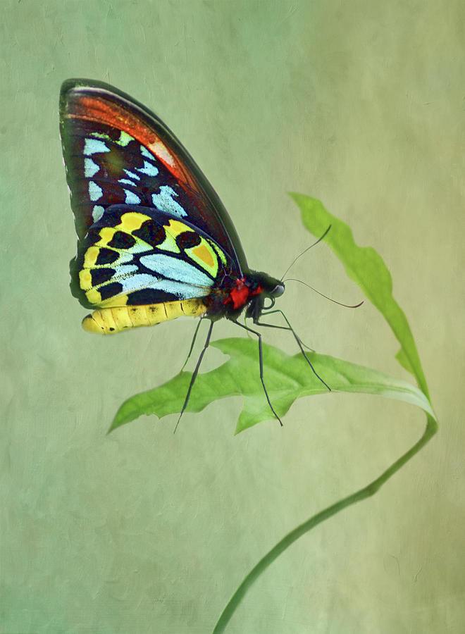 Butterfly Photograph - Birdwing Butterfly on Leaf by Nikolyn McDonald