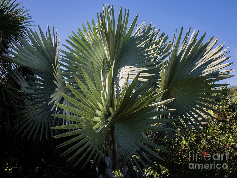 Palm Photograph - Bismarckia by Zina Stromberg