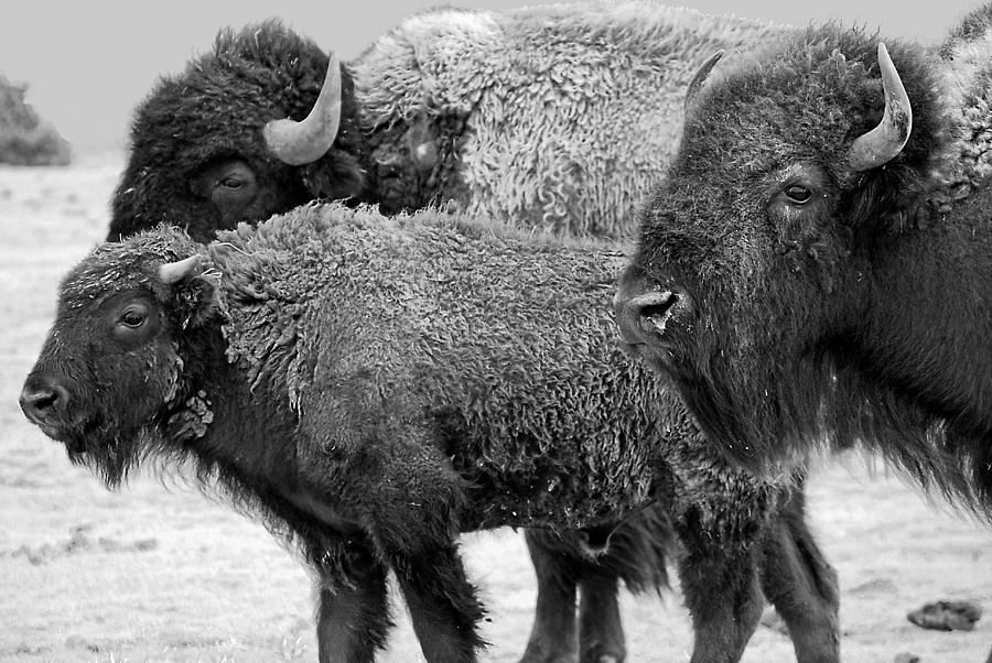 Buffalo Photograph - Bison - Way Out West by Melany Sarafis