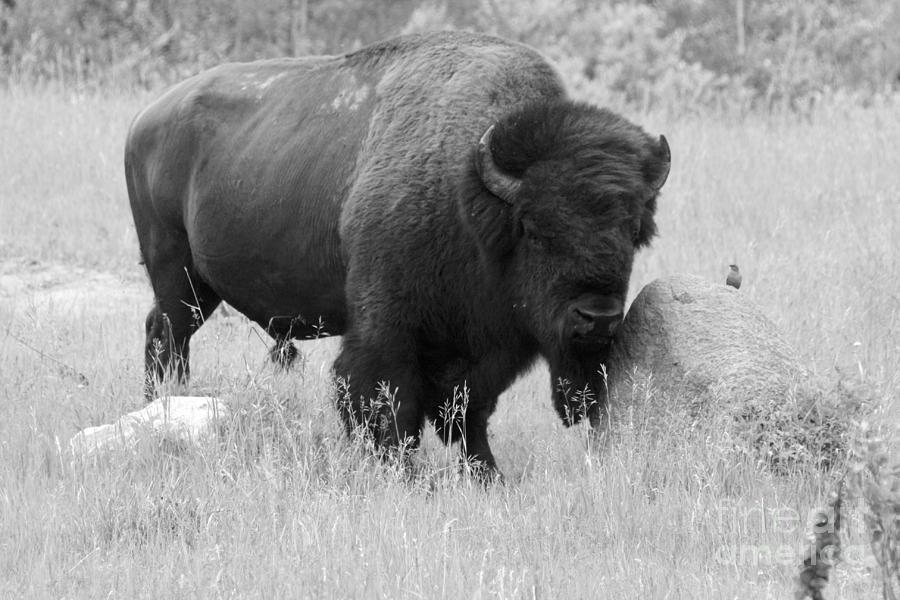 Animal Photograph - Bison And Buffalo by Mary Mikawoz