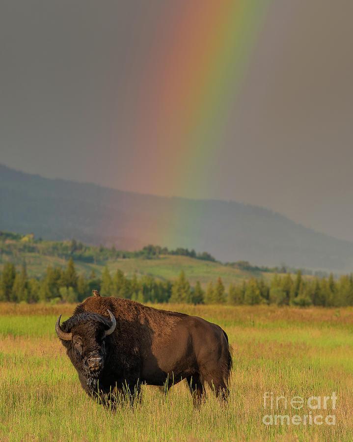 Bison and Rainbow by Brad Schwarm