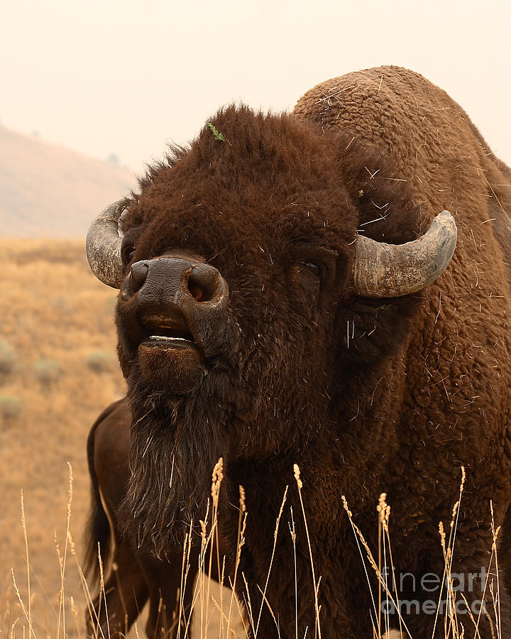 Bison Photograph - Bison Bellowing At The Sky by Max Allen