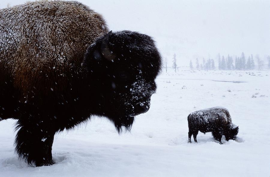Yellowstone National Park Photograph - Bison Bison Bison In The Snow by Joel Sartore