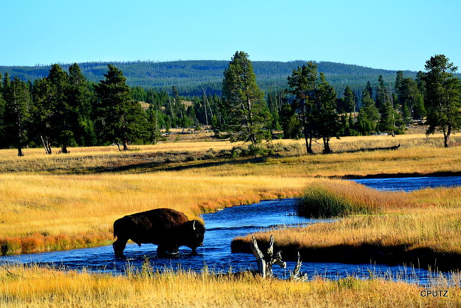 Yellowstone National Park Photograph - Bison by Carrie Putz