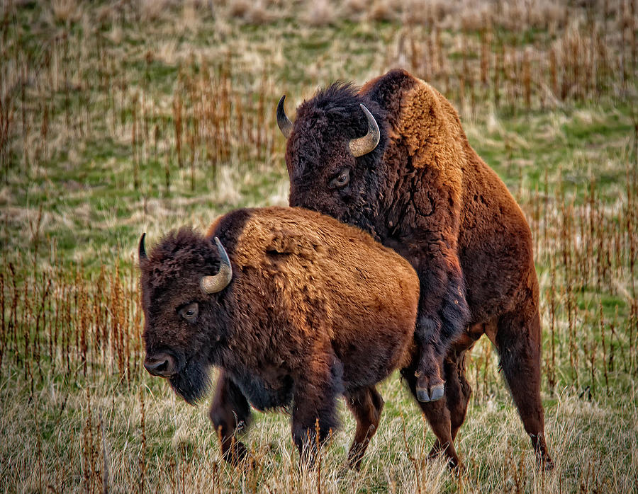 Nature Photograph - Bison Having Fun by Paul W Sharpe Aka Wizard of Wonders