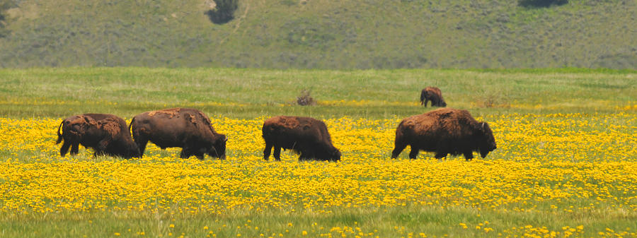 Bison Heard Photograph - Bison Herd by Alan Lenk