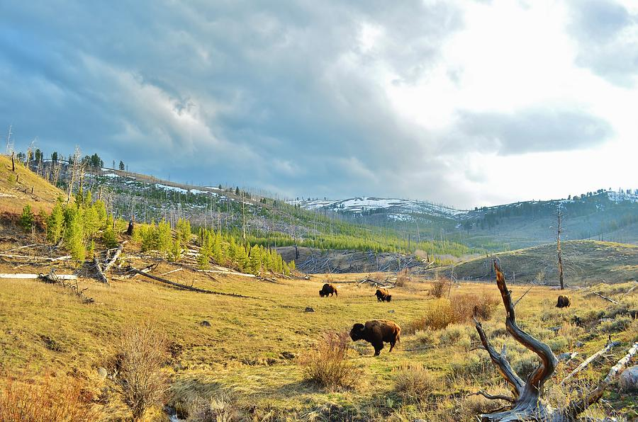 Bison Herd Photograph by George Bannister