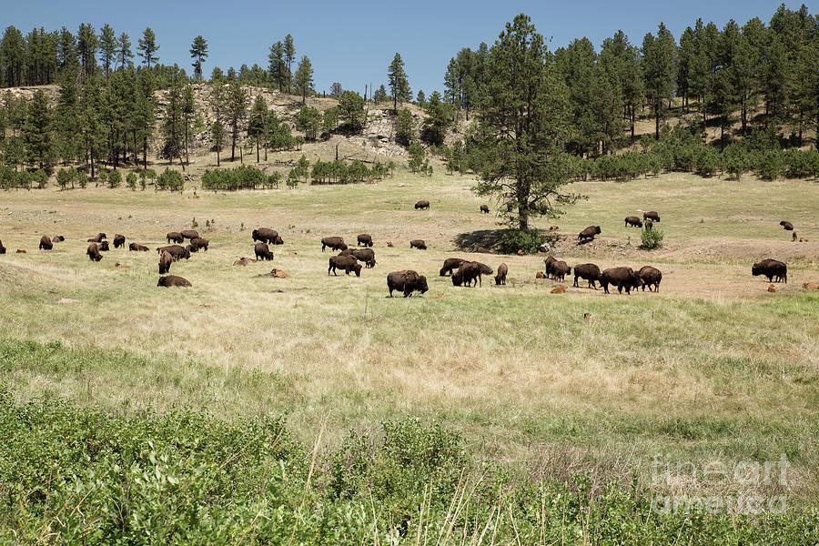 Bison Photograph - Bison Herd Grazing by Nikki Vig
