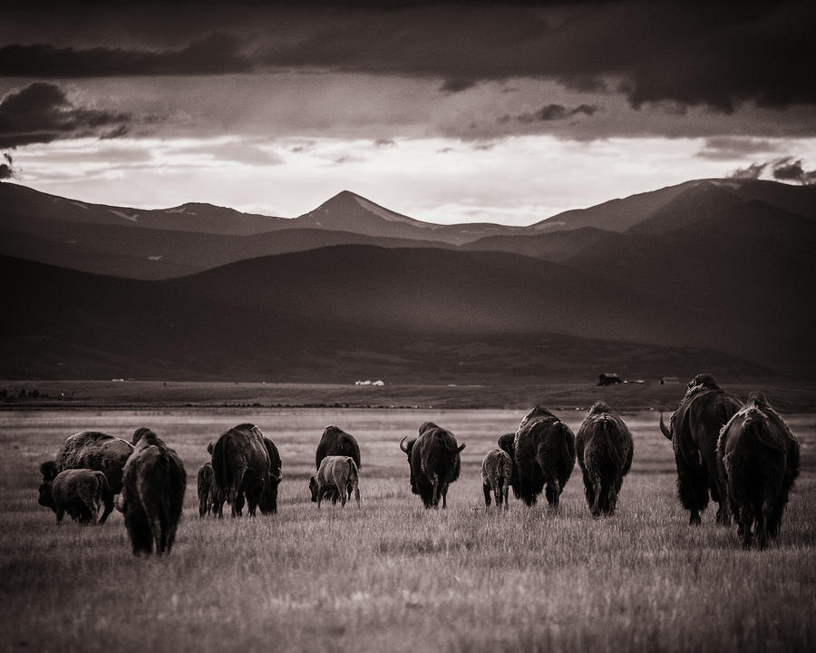 American West Photograph - Bison Herd Into The Sunset - Bw by Chris Bordeleau