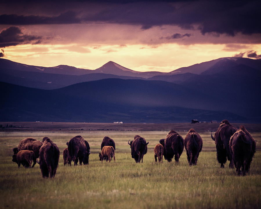 American West Photograph - Bison Herd Into The Sunset by Chris Bordeleau