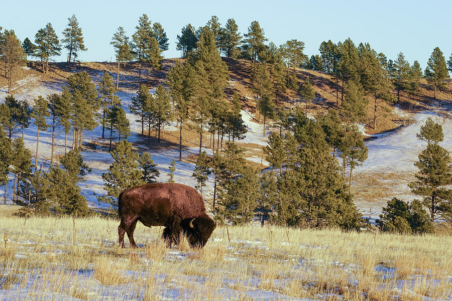 Bison in Custer State Park by Bill Gabbert