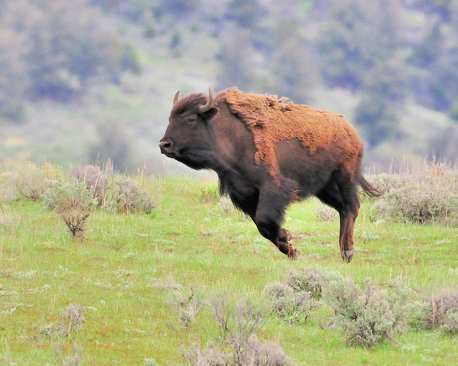 Bison In Flight Photograph by John R Young Jr