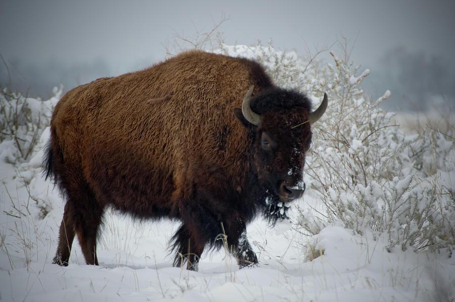 Bison In Fresh Snow by John De Bord