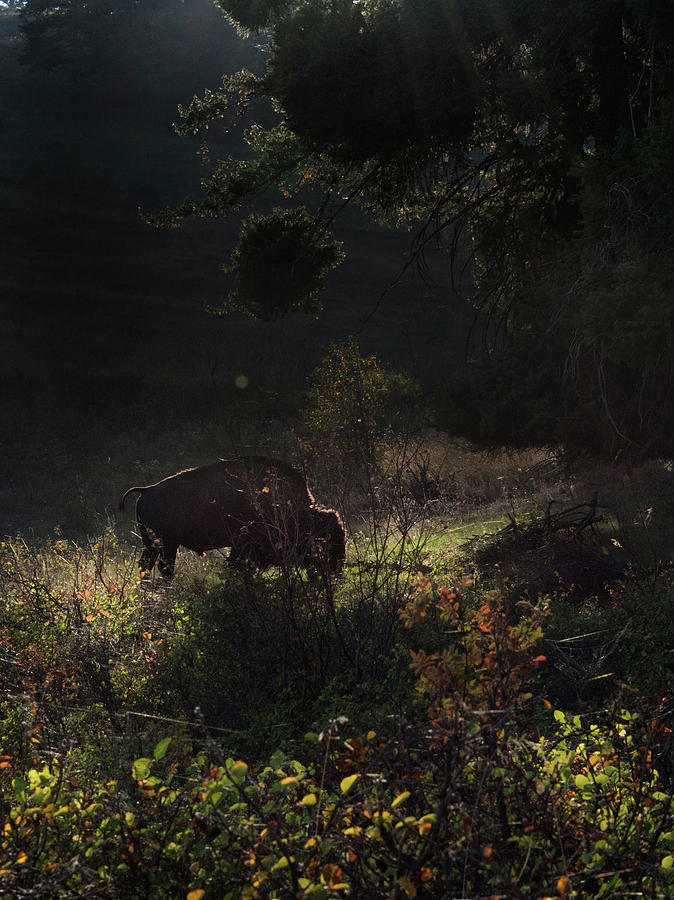 Bison Photograph - Bison in the Brush by Roy Nierdieck