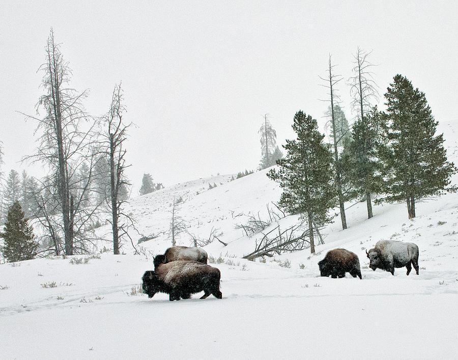 Bison Photograph - Bison in Winter by Roy Nierdieck