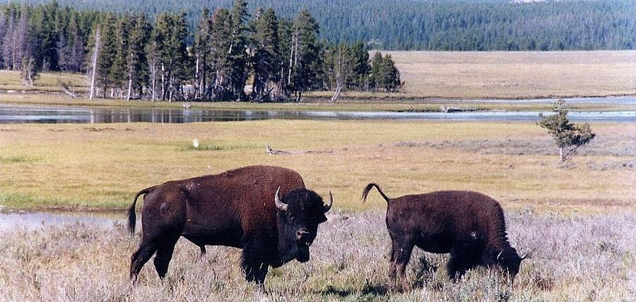 Bison Photograph - Bison In Yellowstone by Jerry Battle