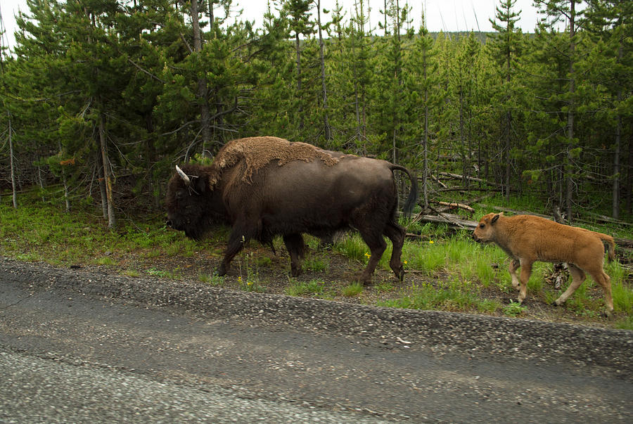 Bison Photograph - Bison by Linda Kerkau
