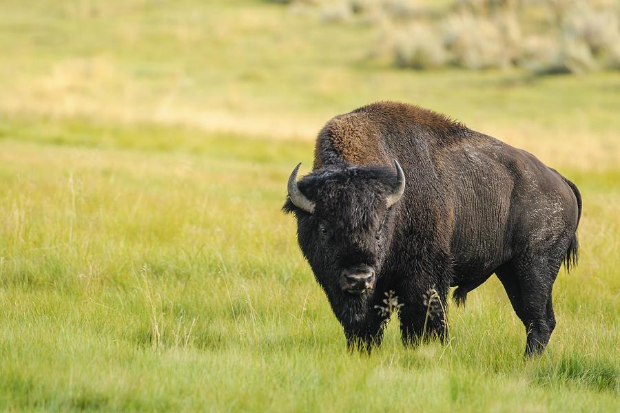 Bison Of Yellowstone National Park, Usa Photograph