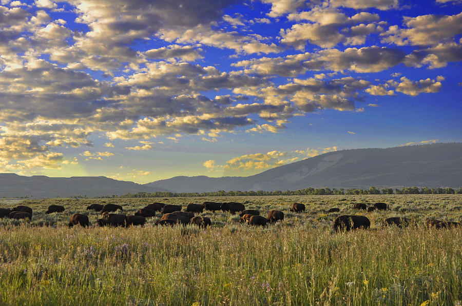 Bison Photograph - Bison On Antelope Flats Wy by Vijay Sharon Govender