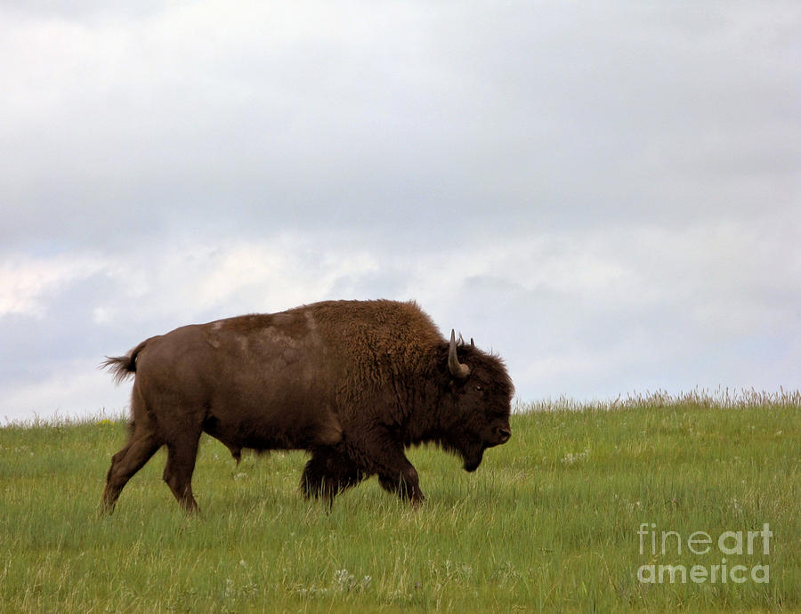 Bison Photograph - Bison On The American Prairie by Olivier Le Queinec